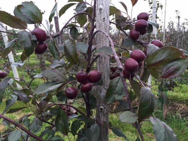 Redlove appelboomgaard