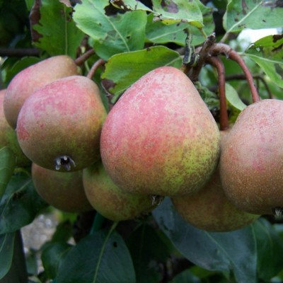pear_blakeney_red